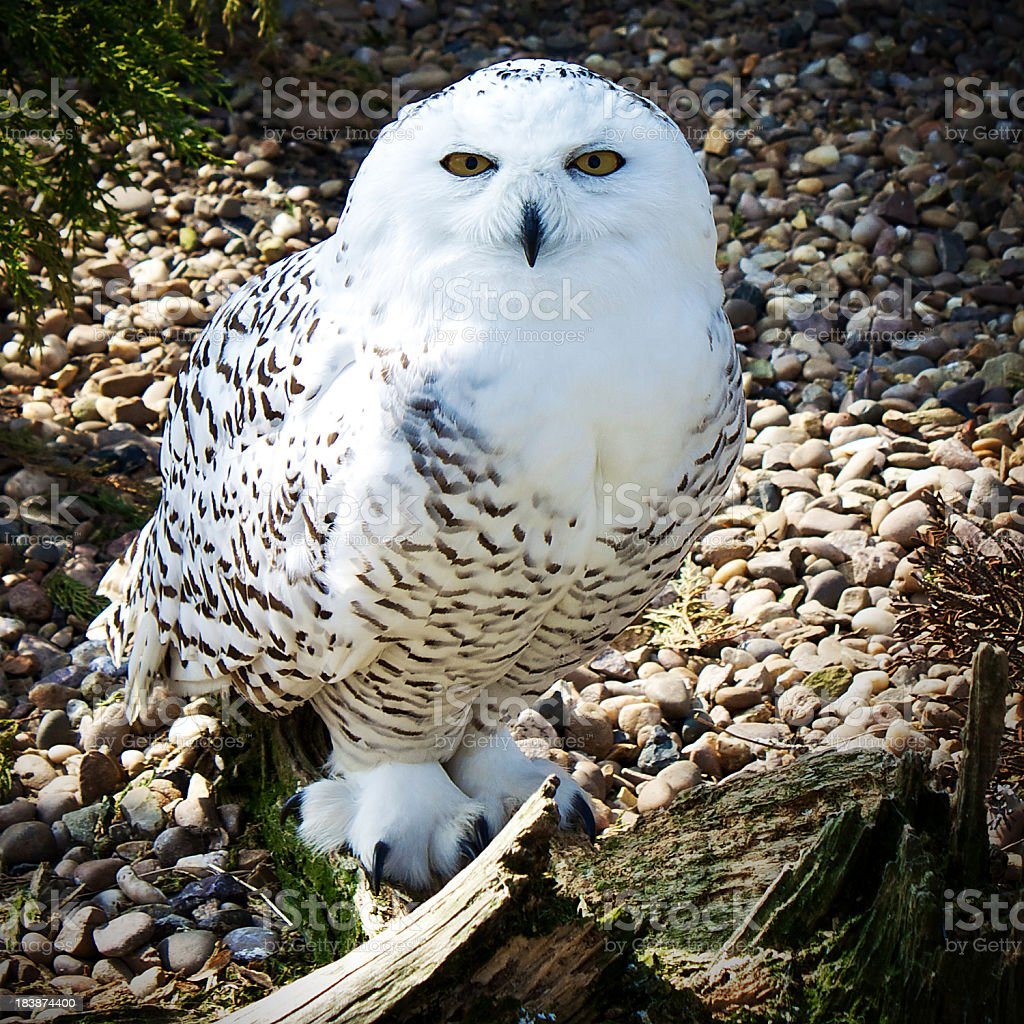 Snowy Owl (Bubo scandiacus) looking at the viewer stock photo
