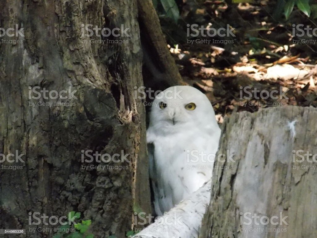 Snowy Owl Nestled in the Base of a Tree stock photo