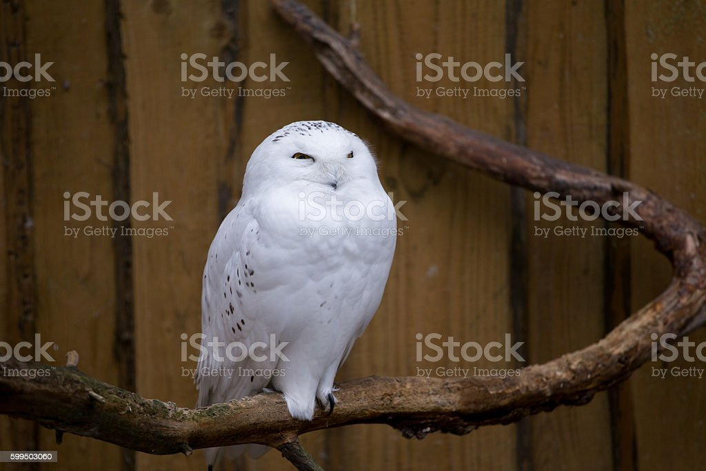 snowy owl on a branch stock photo