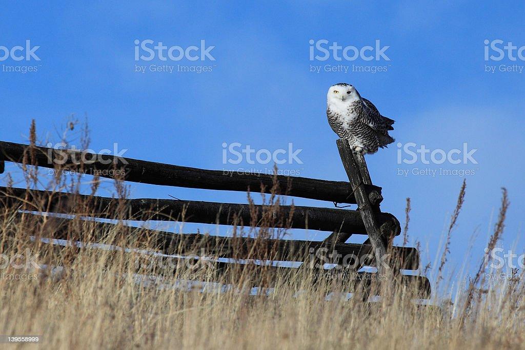 Snowy Owl (Bubo scandiacus) on a grassland fence. stock photo