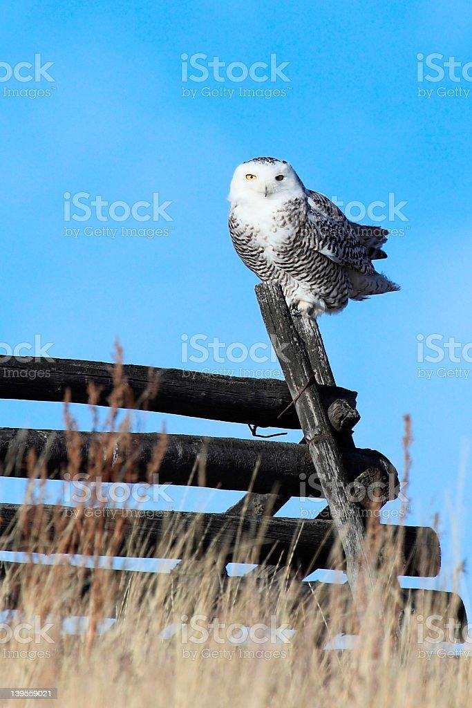 Snowy Owl (Bubo scandiacus) on a grassland fence post. stock photo