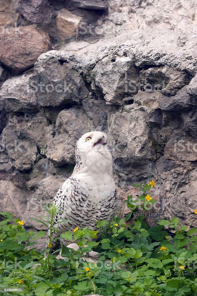 Snowy owl or Bubo scandiacus stock photo