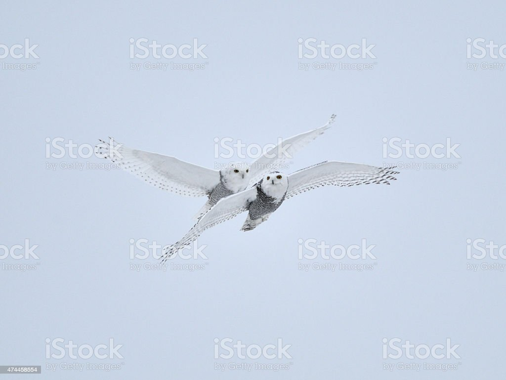Snowy Owl pair stock photo