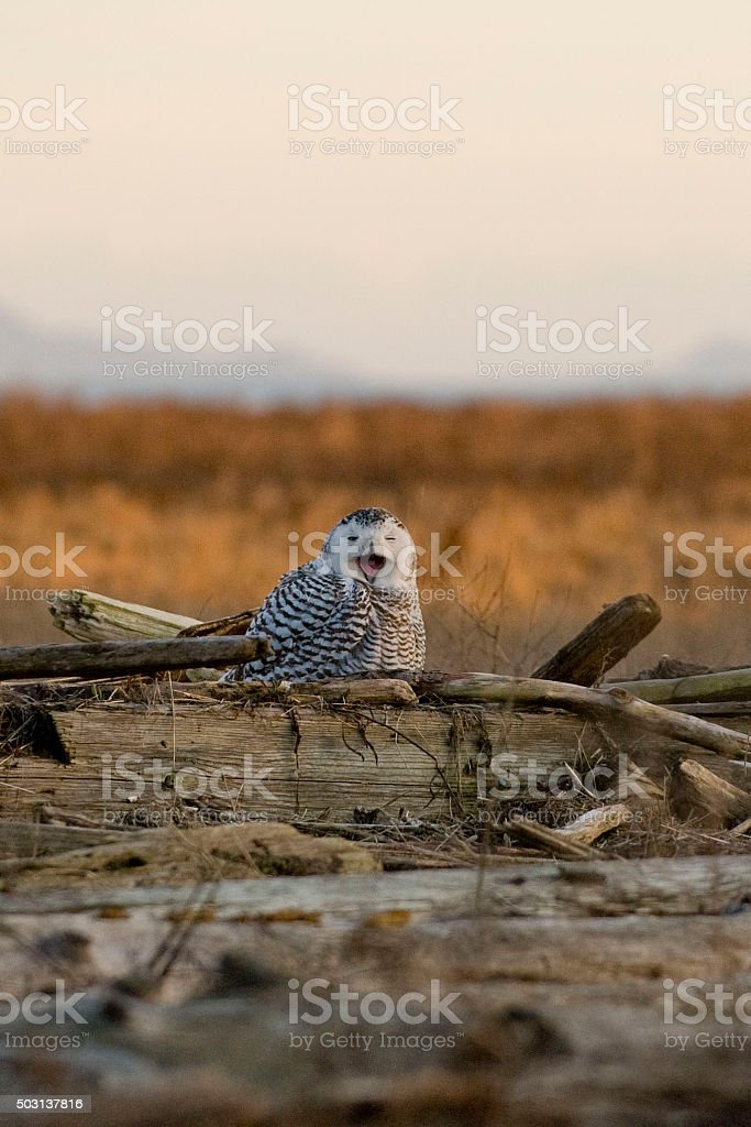 Snowy owl perched on driftwood in Spring stock photo