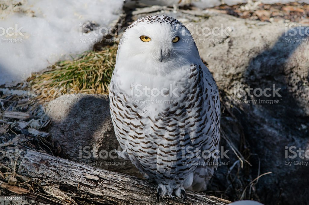Snowy owl perched on log with snow stock photo