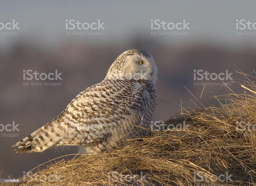 Snowy Owl Perched on Salt Marsh Grass stock photo