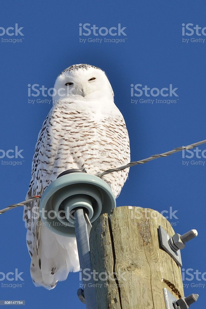 Snowy Owl perched stock photo