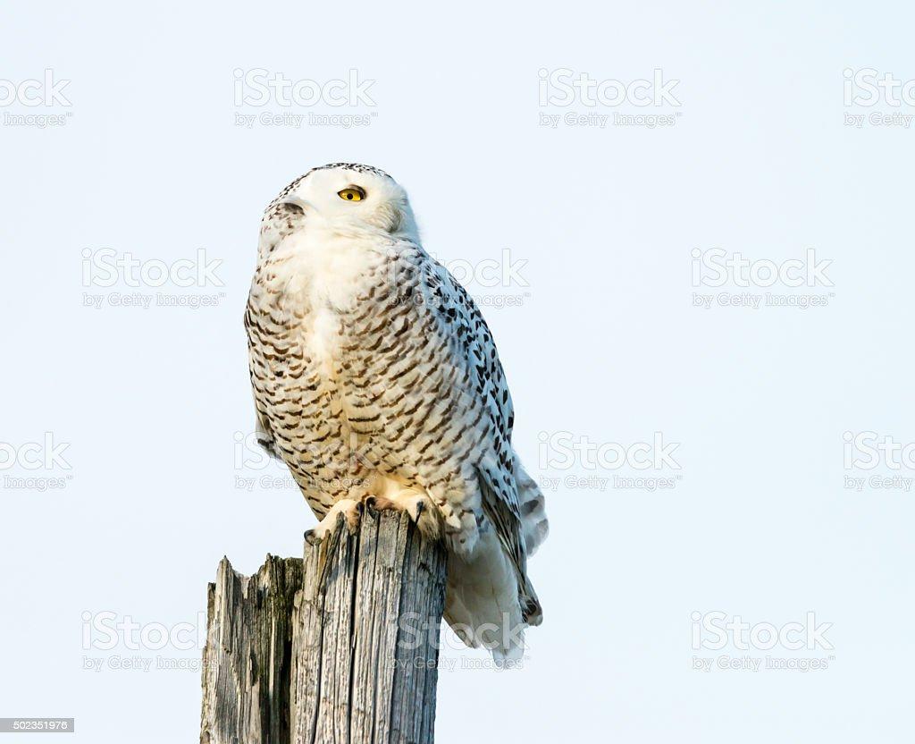 Snowy Owl perching, Bubo scandiacus, Bird in Canada stock photo
