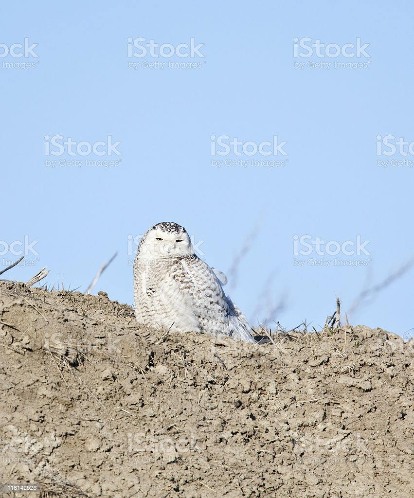 Snowy Owl royalty-free stock photo
