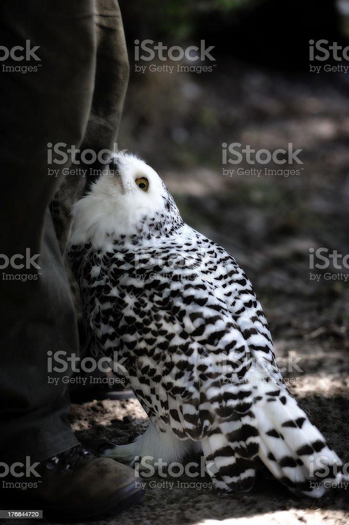 Snowy owl (Nyctea scandiaca) stock photo