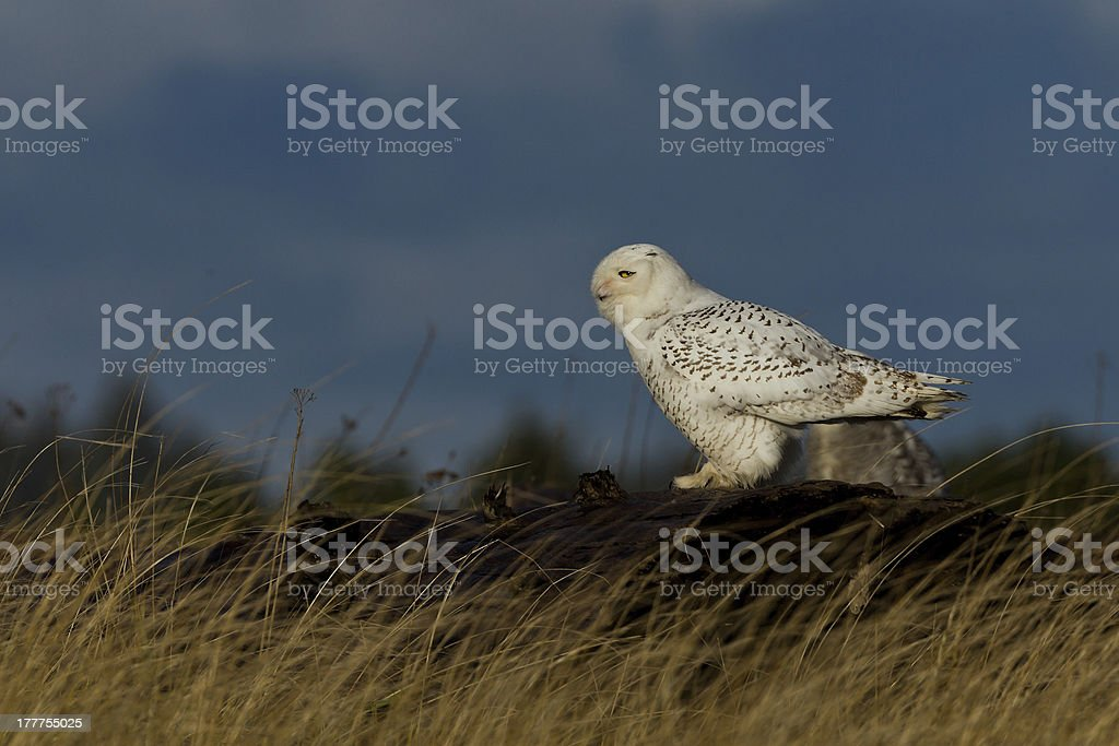 Snowy Owl (Bubo scandiacus). royalty-free stock photo