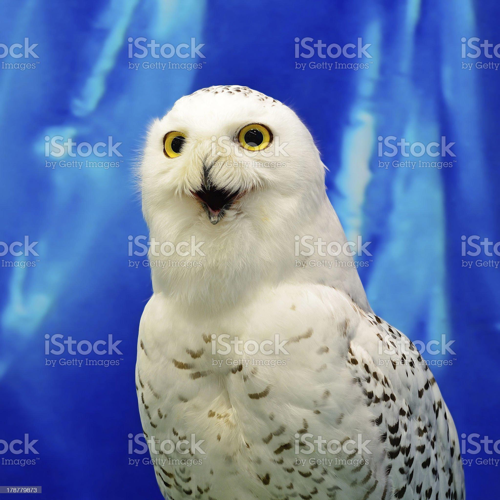 Snowy Owl royalty-free stock photo