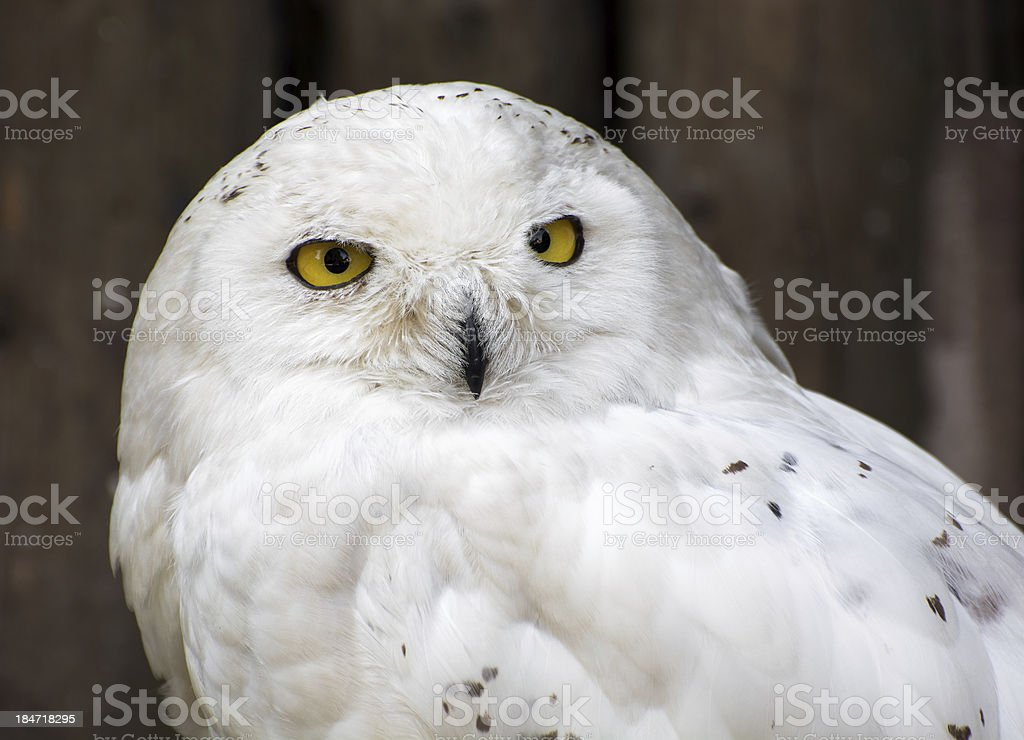 Snowy owl (Nyctea scandiaca) stock photo