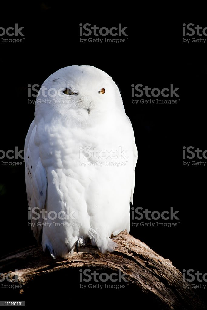 Snowy Owl stock photo