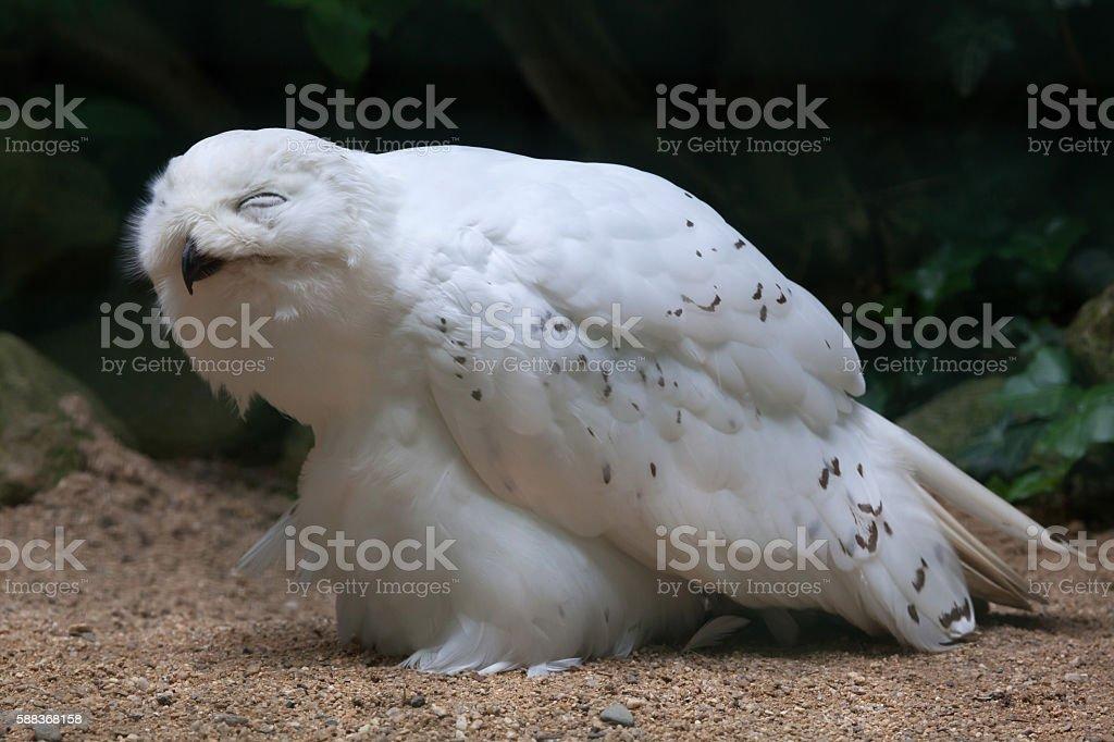Snowy owl (Bubo scandiacus). stock photo