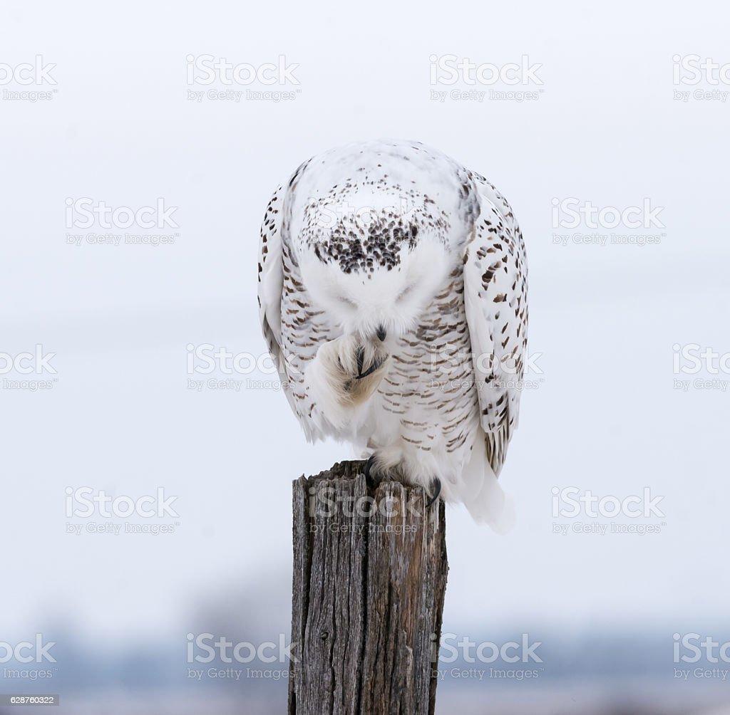 Snowy Owl stock photo