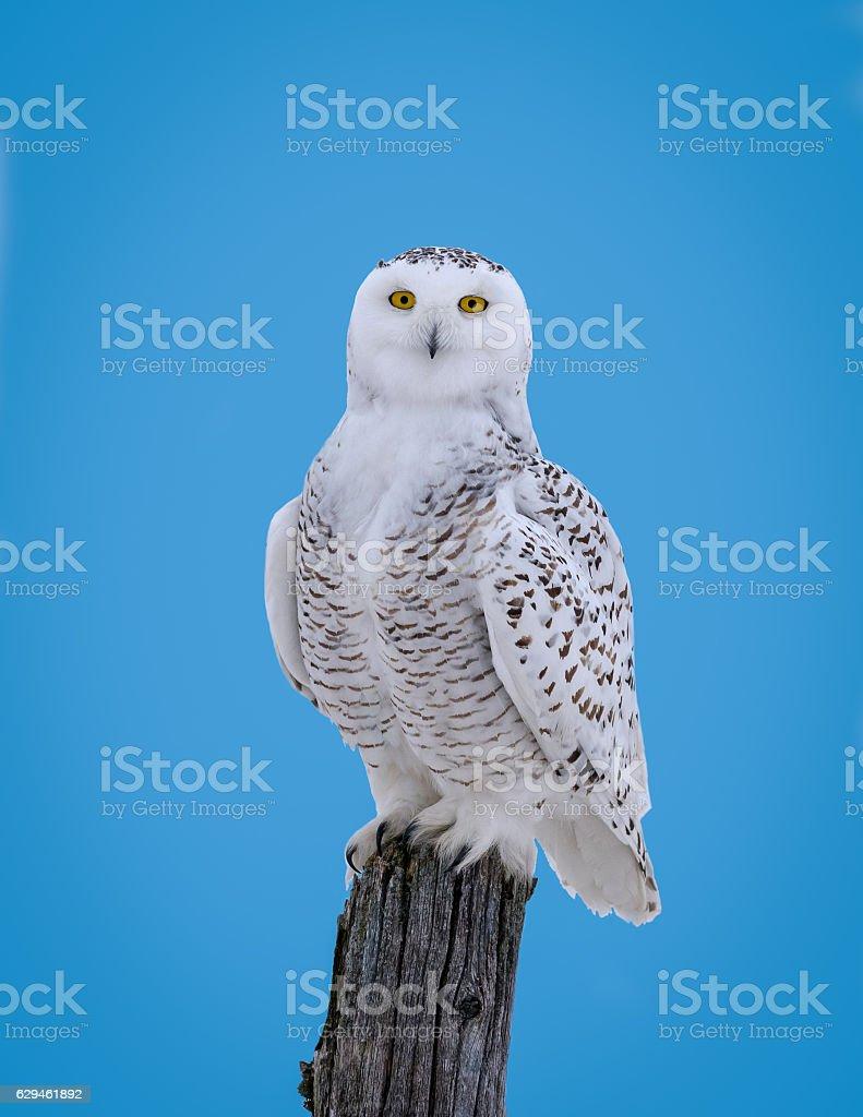 Snowy Owl Portrait on Blue Sky stock photo