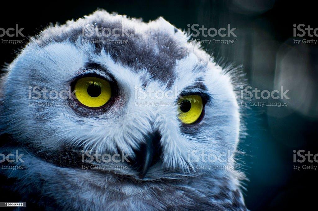 Snowy Owl Portrait stock photo