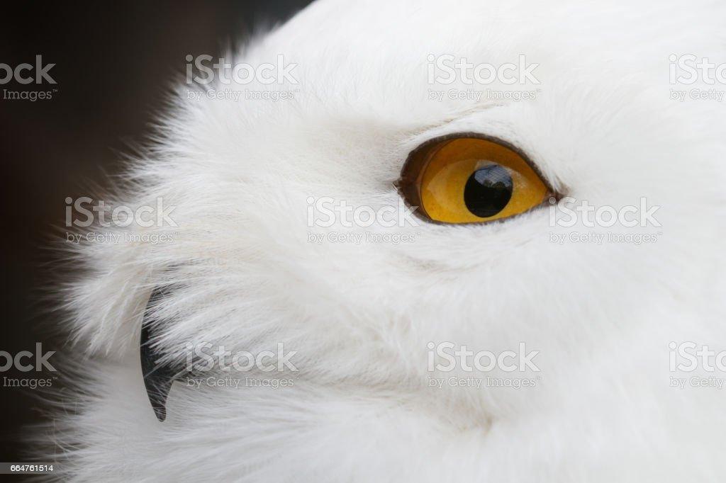 Snowy owl (Bubo scandiacus) portrait stock photo