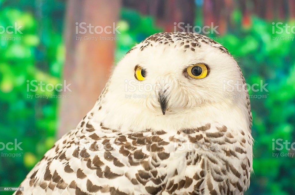Snowy Owl Portrait, Wildlife Preservation stock photo