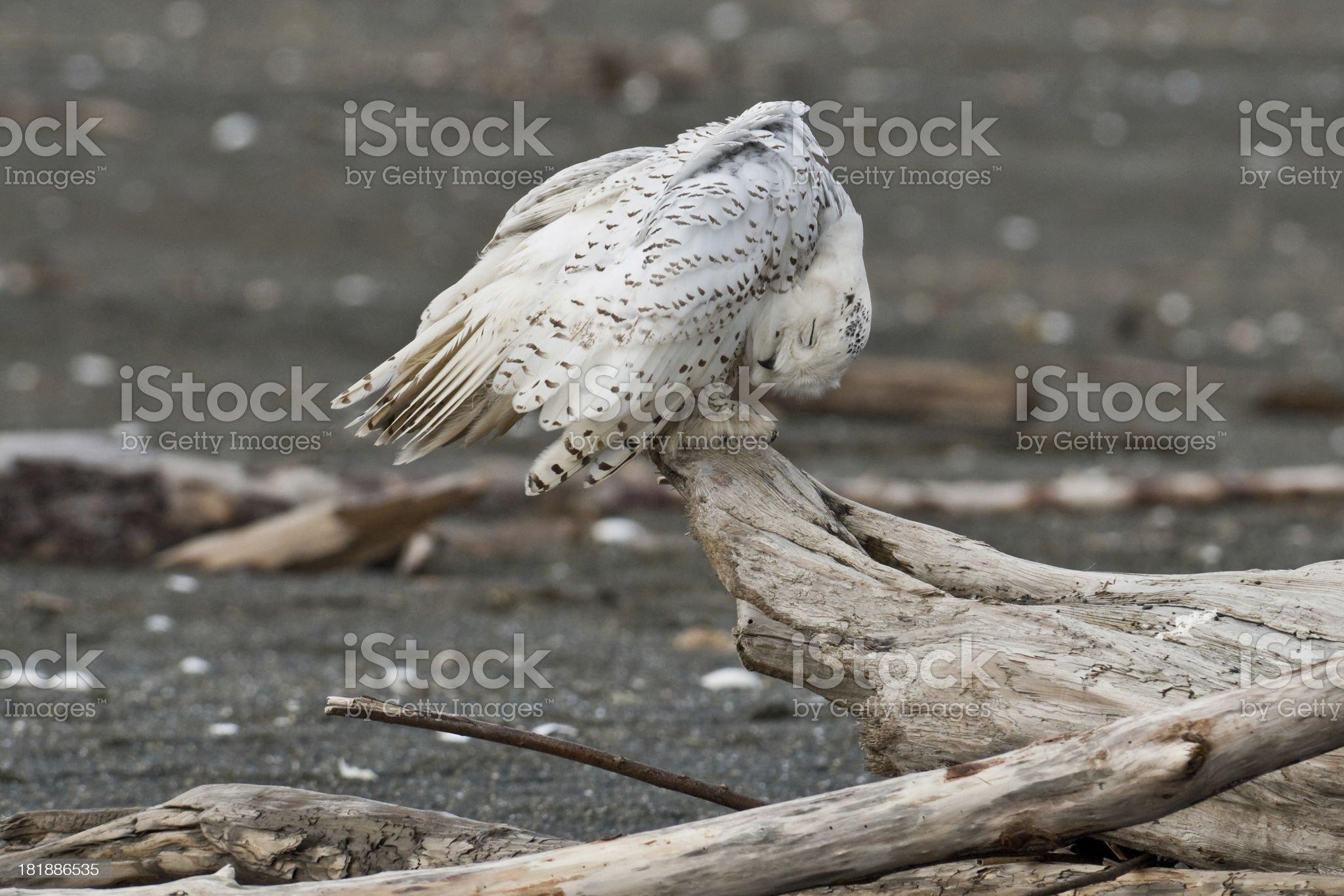 Snowy Owl Preening royalty-free stock photo