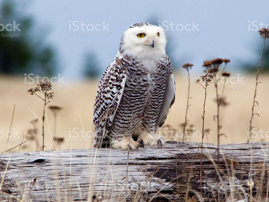 Snowy Owl searching for Prey stock photo