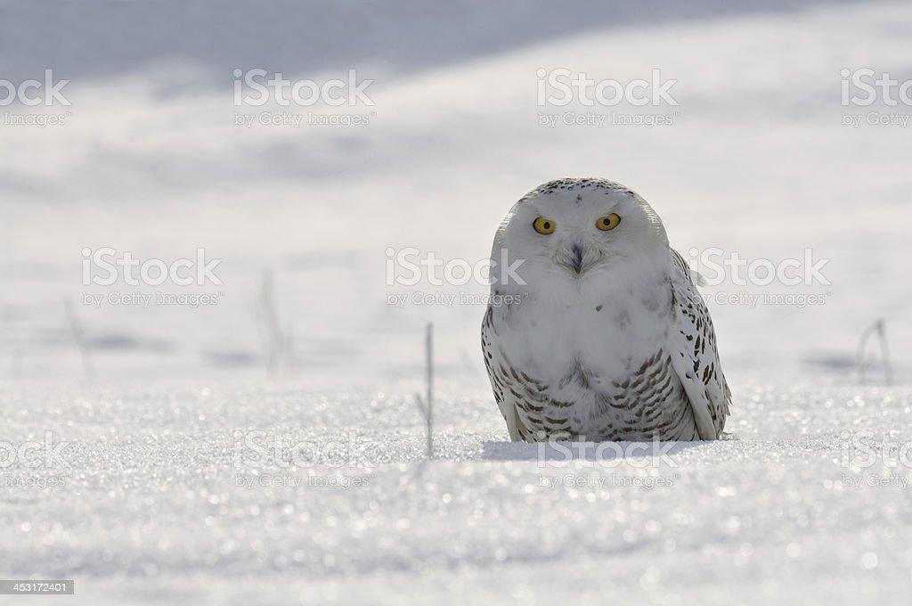 snowy owl sitting on the snow stock photo