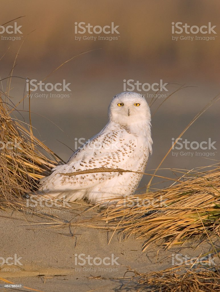 Snowy Owl staring stock photo