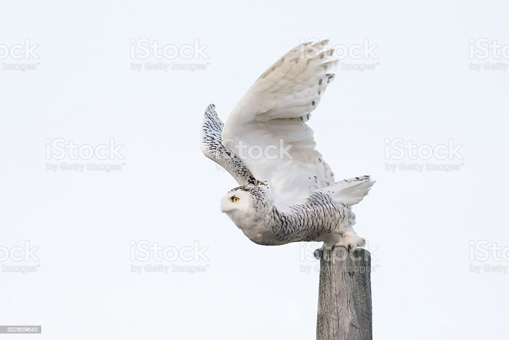 Snowy Owl taking off, Bubo scandiacus, Bird in Canada stock photo