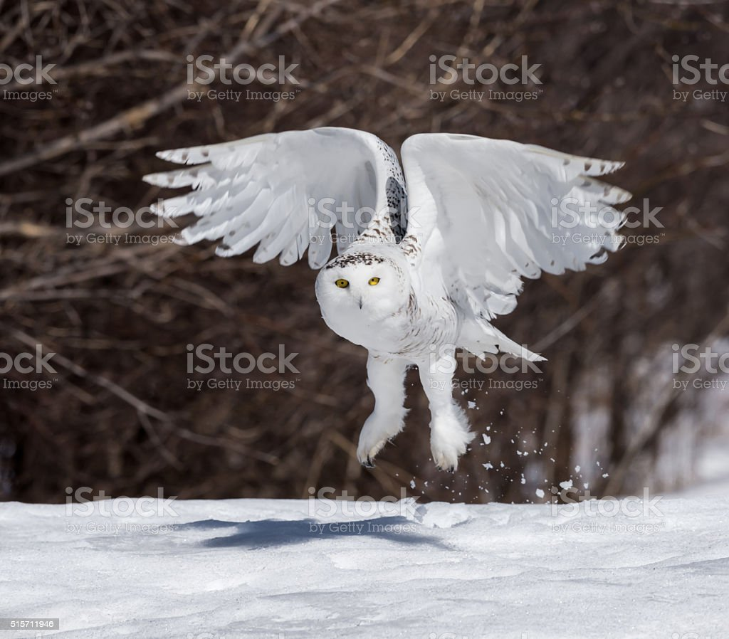 Snowy Owl Taking Off stock photo
