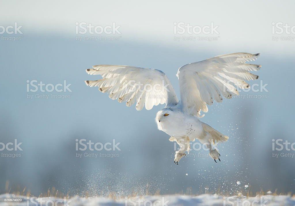 Snowy owl taking off stock photo