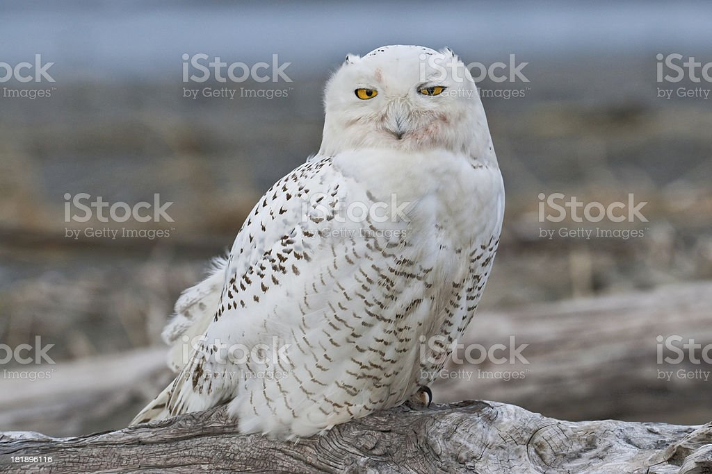 Snowy Owl Watching from a Driftwood Perch stock photo