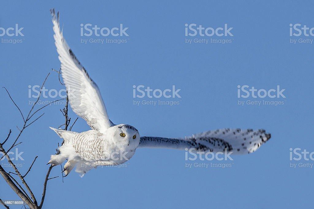 Snowy Owl - Wings Spread in Flight stock photo