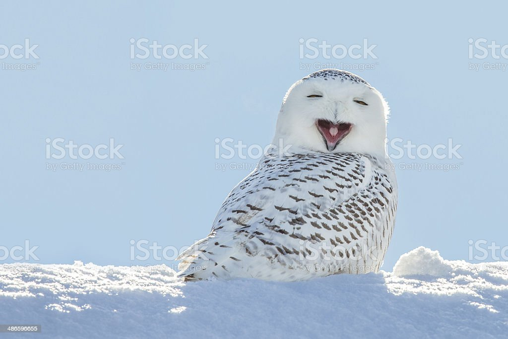 Snowy Owl - Yawning / Smiling in Snow royalty-free stock photo