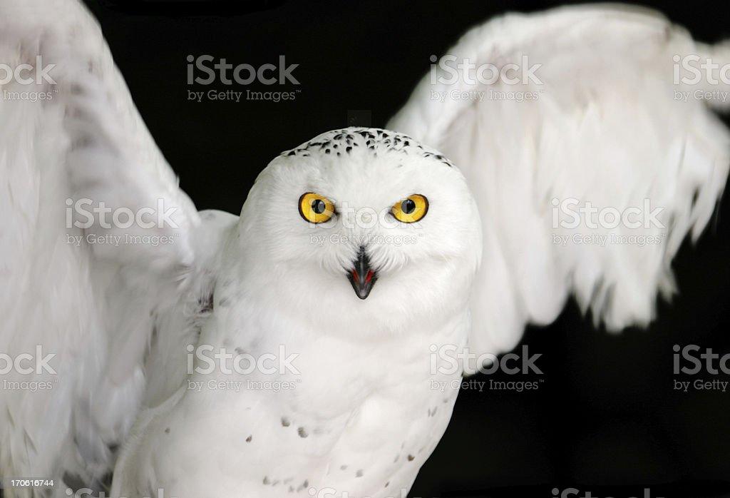 Snowy Owl Yellow Eyes on Black stock photo