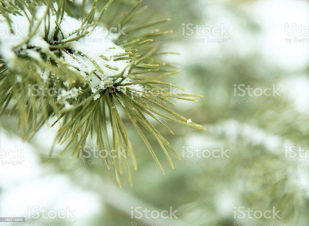 Snowy pine branch royalty-free stock photo