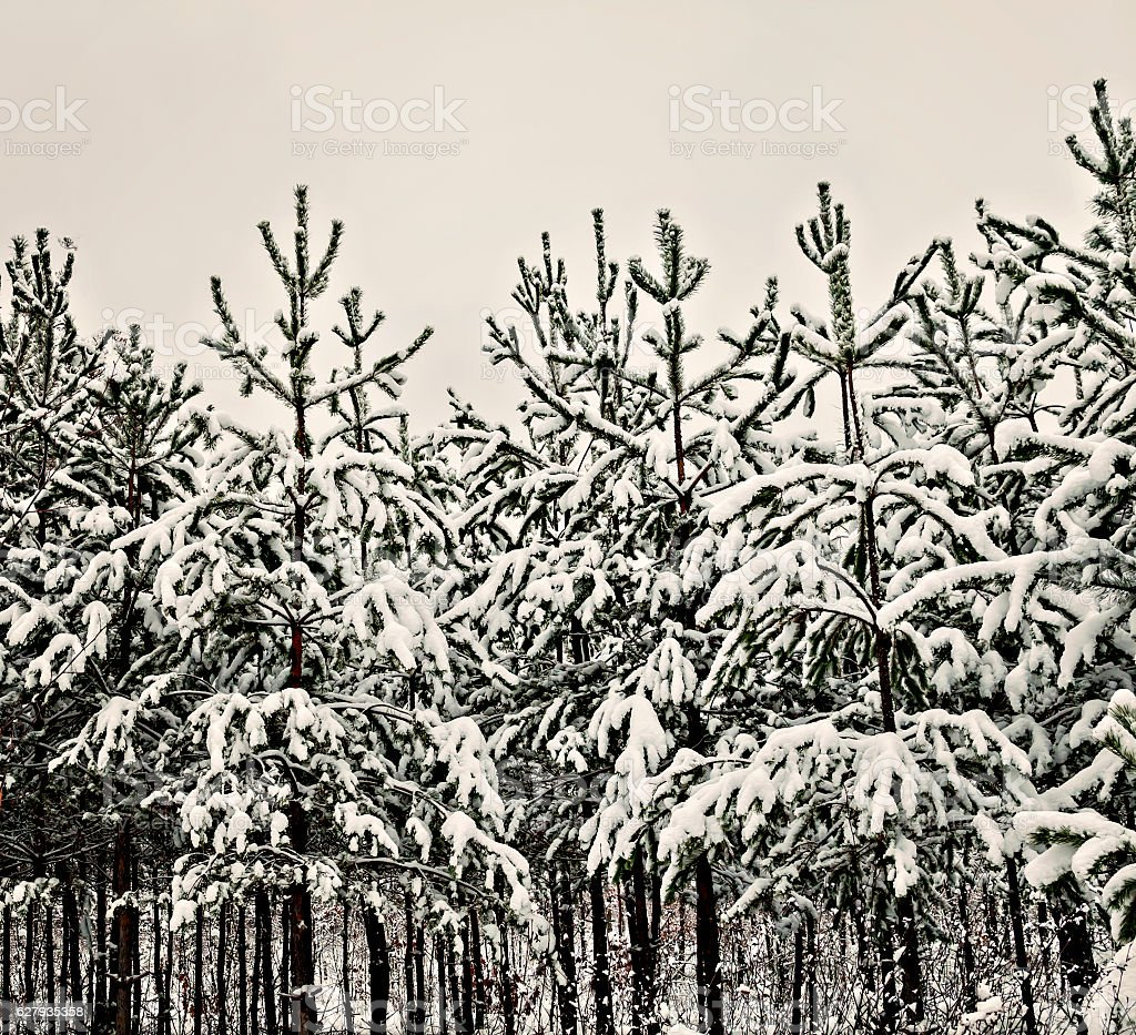 snowy pine forest landscape in the morning stock photo