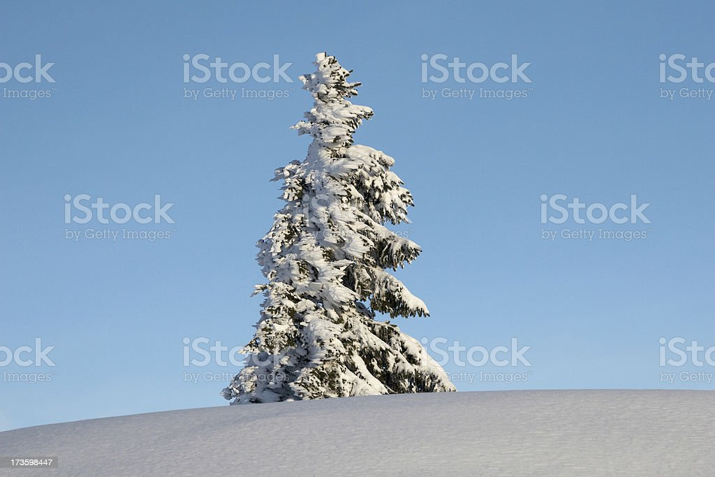 Snowy pine royalty-free stock photo