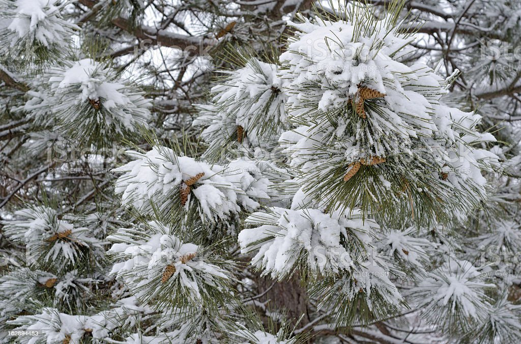 Snowy Pine Tree Branches with Cones royalty-free stock photo