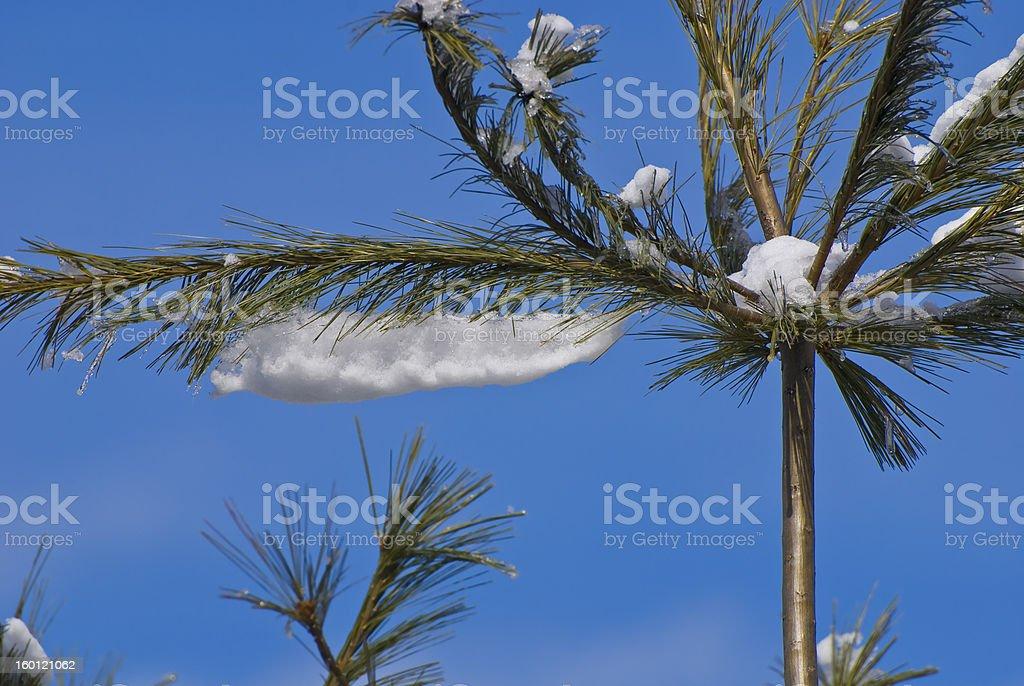 Neve agulhas de pinheiro foto royalty-free