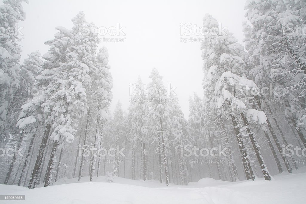 snowy pine trees royalty-free stock photo