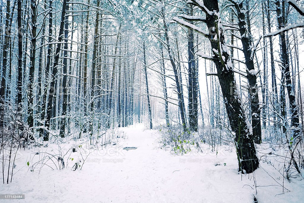 Snowy pinewood in winter royalty-free stock photo