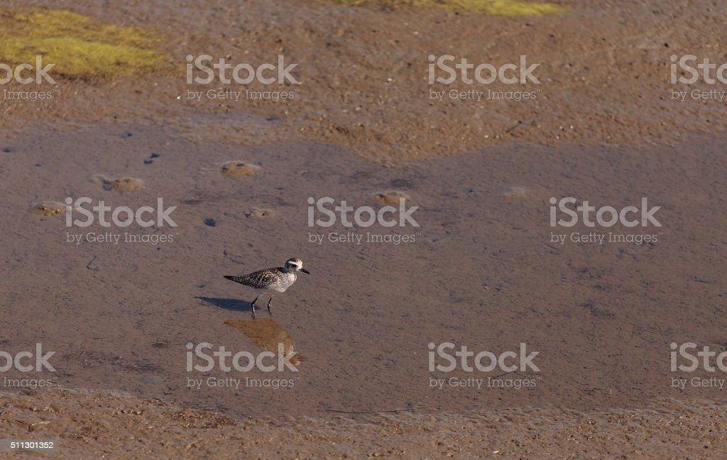 Snowy plover, Charadrius nivosus stock photo