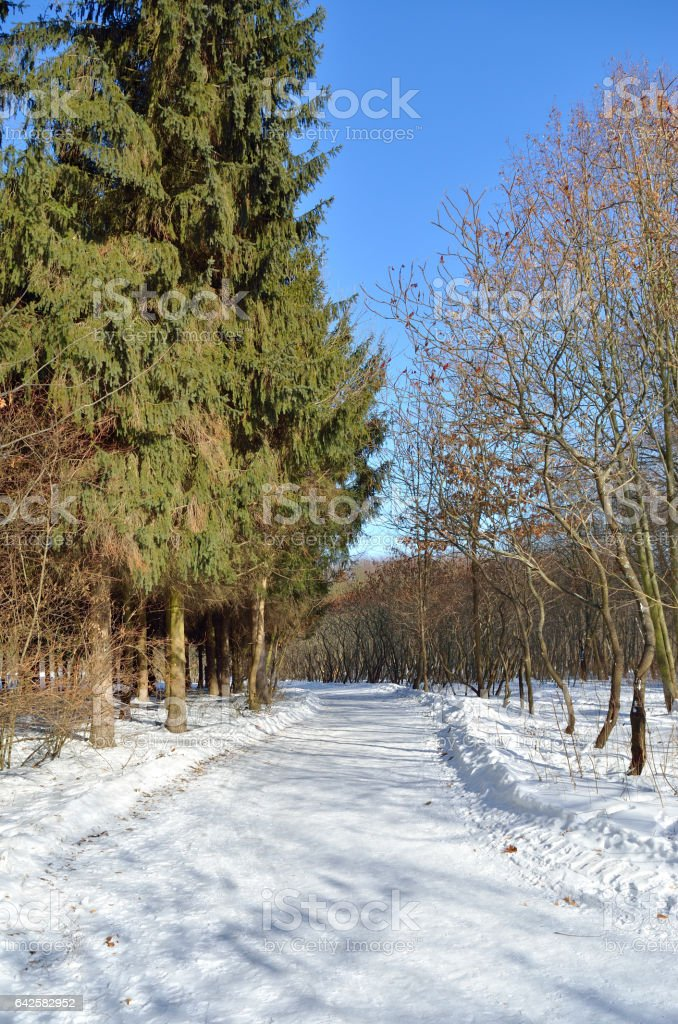 Snowy road among pine trees in the winter forest stock photo