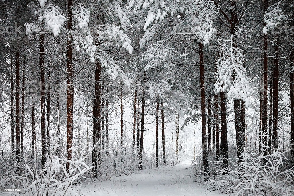 Snowy Road through the wintry forest stock photo