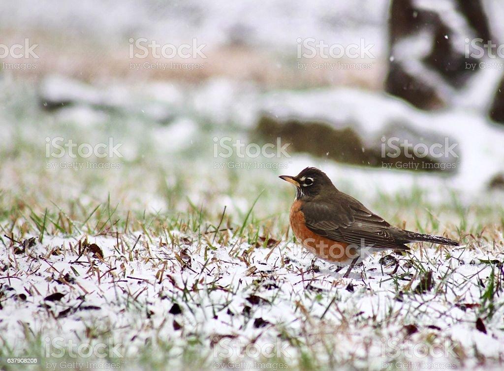Snowy Robin stock photo