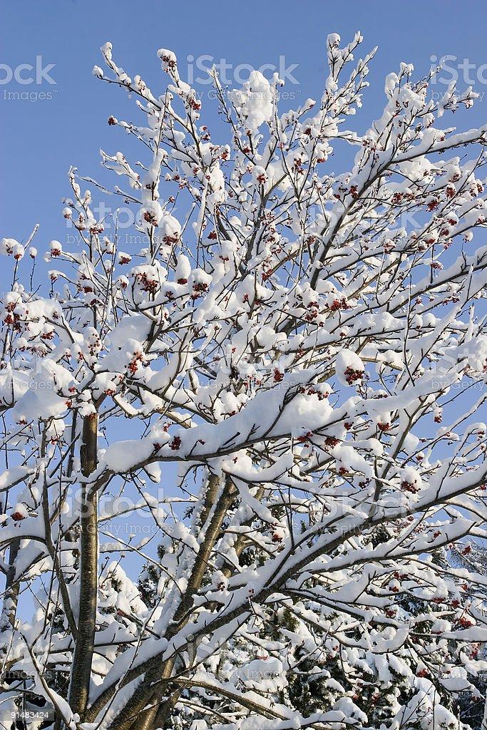 Snowy rowan tree stock photo
