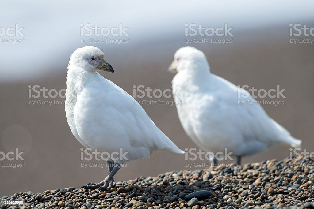 Snowy sheatbill Paloma Antarctica white bird portrait stock photo
