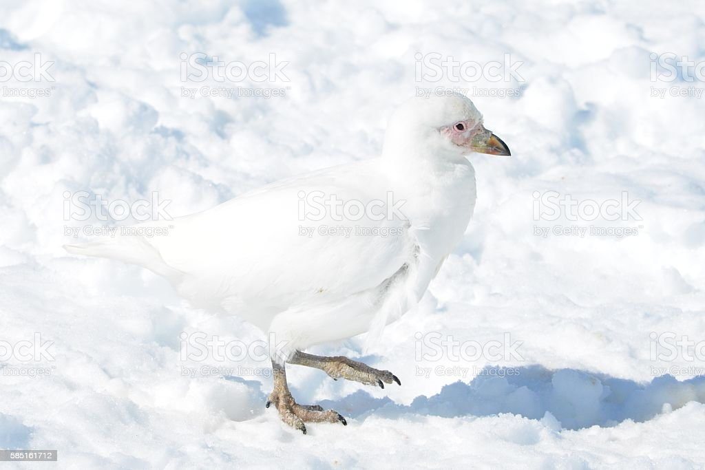 Snowy Sheathbill on Snow stock photo