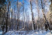 Snowy Siberian forest